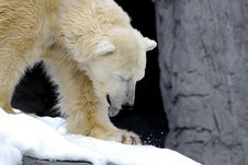 Free Polar Bear Stock Photography - 3895382