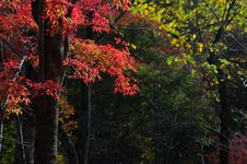 Free Red Leaves In The Forest Royalty Free Stock Images - 3895479