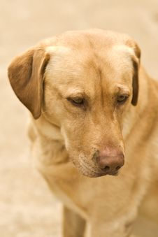 Free Golden Lab Stock Images - 3895584