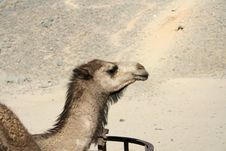 Free Camel Head Royalty Free Stock Image - 3895716