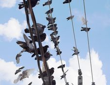 Free Flock Of Pigeons Siting At Power Line Stock Photo - 3896590