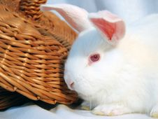Free White Rabbit Royalty Free Stock Images - 3896639
