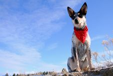 Heeler Pup 28 Stock Photo