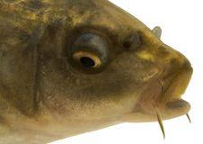 Free Carp Head Close-up - Isolated Stock Photo - 3898010