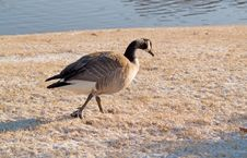 Free Goose Walking In Snow Royalty Free Stock Photography - 3898717