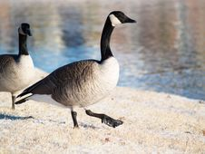 Free Goose, GooseStepping In Snow Stock Photo - 3898720
