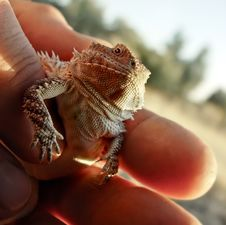 Horned Toad Or Horned Lizard Royalty Free Stock Image