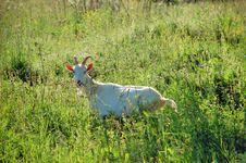 Free White Goat Stock Photography - 3899582