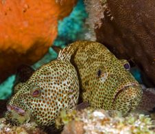 Free Two Grouper Stock Photography - 3899912