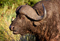 Free Water Buffalo With A Bird On His Nose Stock Image - 397681