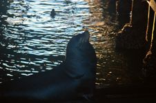 Free Sea Lion Under Pier Royalty Free Stock Image - 392246