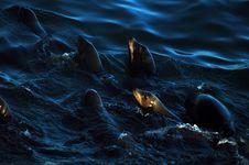 Free Seals Swimming Royalty Free Stock Image - 392336