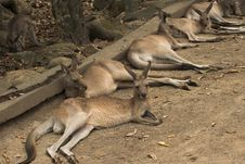 Free Lazy Kangaroos Stock Photo - 392870