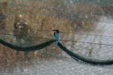 Free Kingfisher At Fish Pools Royalty Free Stock Photography - 393437