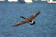 Free Canadian Goose In Flight Stock Photos - 393443