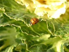 Free Cabbage And Ladybug Stock Photo - 393460