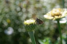 Free Moth On Budding Flower Stock Photography - 394782