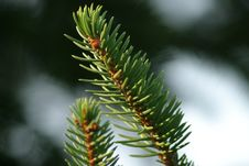 Free Pine Branch Isolation Royalty Free Stock Photo - 395385