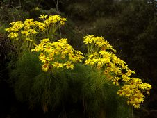 Free Giant Coreopsis Royalty Free Stock Images - 395969