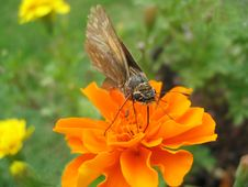 Free Moth With Marigold Royalty Free Stock Photos - 397328