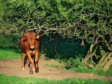 Free Red Bullock Stock Photography - 397612