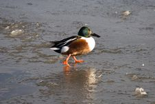 Duck On Ice 1 Stock Photography