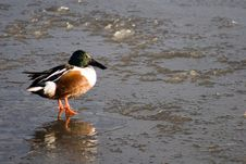 Duck On Ice 2 Stock Photos
