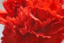 Free The Carnation Stock Photography - 398962