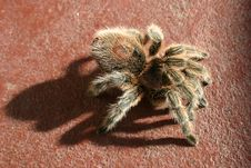 Free Very Large Hairy Spider Royalty Free Stock Photos - 399668