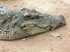 Free Alligator Waiting Stock Photography - 399732