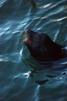 Free Seals Swimming Stock Photos - 399903