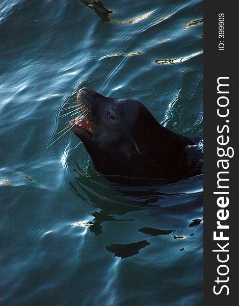 Seals swimming