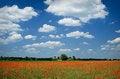 Free Poppy Royalty Free Stock Photos - 3901808