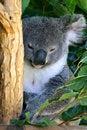 Free Koala Bear Stock Photo - 3901930