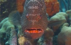 Large Tiger Grouper Royalty Free Stock Photography
