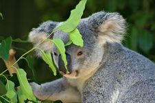 Free Koala Bear Stock Images - 3901964