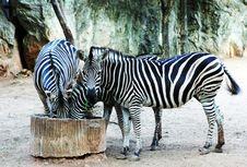 Free Zebras Stock Image - 3905571