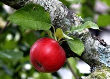 Red Apple At Branch Stock Photo