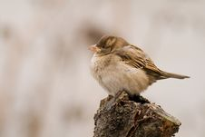 Free Sparrow (aka Passer Domesticus) On Grey Background Stock Photography - 3907212