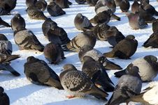 Free Pigeons On Snown Square Royalty Free Stock Image - 3908766