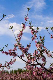 Free Peach Blossom Royalty Free Stock Photography - 3908887