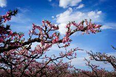 Free Peach Garden Stock Images - 3908984