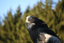 Free Steppe Eagle Royalty Free Stock Image - 3909406