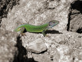 Free Green Lizard Stock Image - 3915971