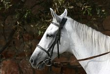 Free White Horse Stock Photography - 3910182
