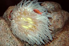 Free Sea Anemone Royalty Free Stock Photos - 3910478