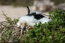 Free Sleepy Infant Frigate Bird, Galapagos Stock Photography - 3911282