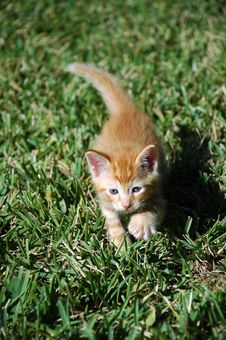 Free Orange Kitten Taking A Step In The Grass Royalty Free Stock Photography - 3911557