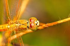 Free An Orange Dragonfly Royalty Free Stock Photo - 3911725