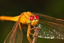An Orange Dragonfly Royalty Free Stock Image